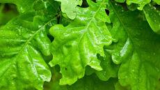 Cladosporium i dąb mogą wygrać z deszczem