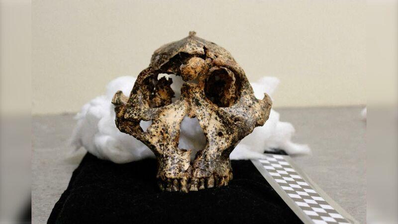 Czaszka osobnika gatunku Paranthropus solidus