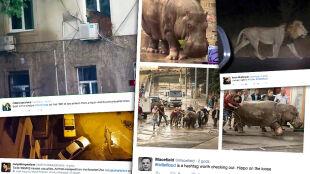 Dzikie zwierzęta grasują po gruzińskiej stolicy. Z zoo wypłoszyła je powódź