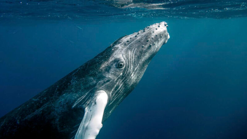 Długopłetwiec oceaniczny, zwany też humbakiem (Flickr/Christopher Michel (CC BY 2.0))